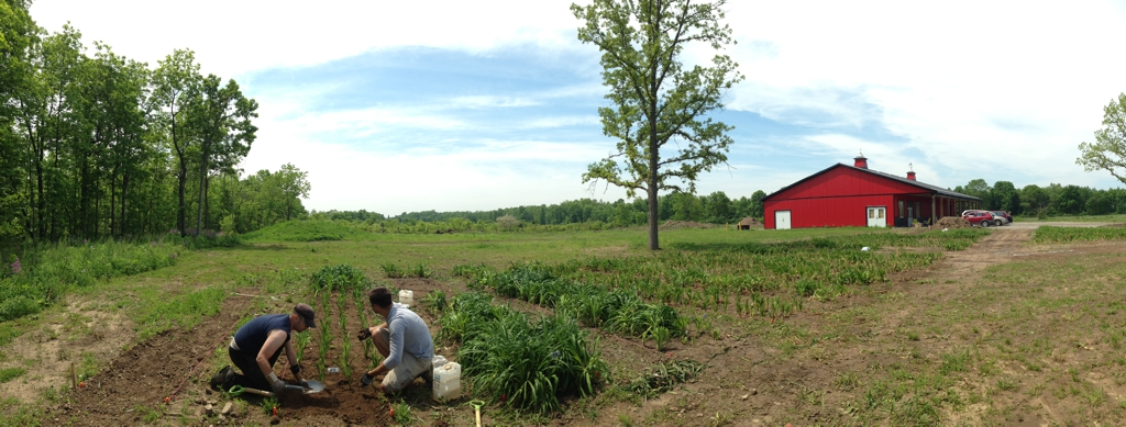 Rows of Daylilies in place, June 2014